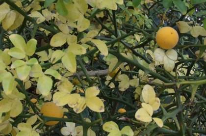 Faire pousser un citronnier conceptions architecturales for Comment tailler un citronnier
