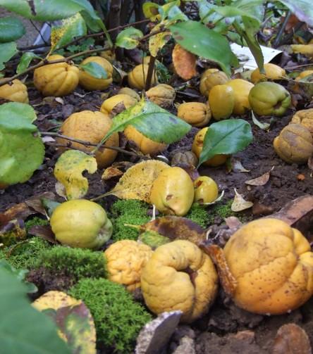 Le guichet du savoir consulter le sujet arbuste fruit jaune inconnu - Pommier du japon fruit ...