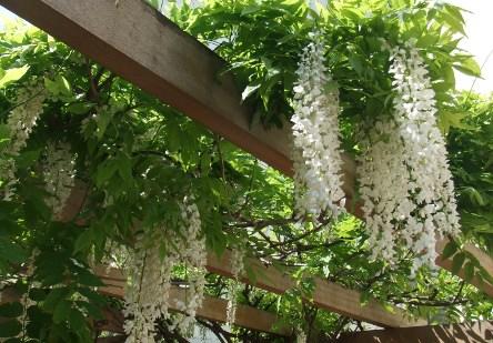 Pergola de wisteria alba levallois u s s botany bay - Pergola voor glycine ...