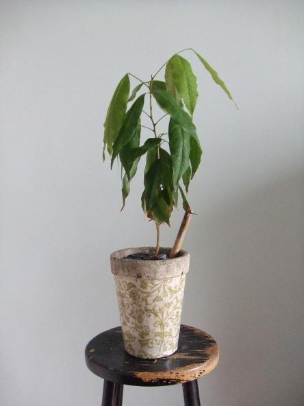 Litchi u s s botany bay for S occuper d un citronnier en pot