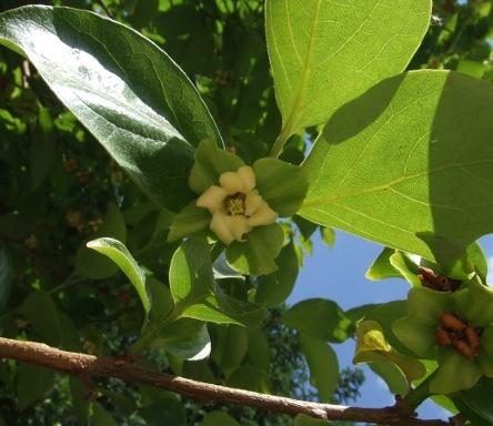 Fleurs kaki ou plaqueminier - Arbre a kaki nom ...