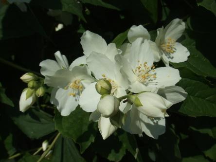 Seringat en fleur u s s botany bay - Comment passer en floraison ...